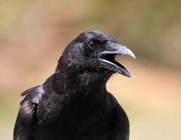 Un corvo (foto sogniesegni.com)