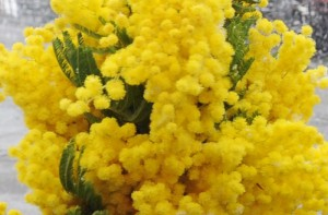 Mazzo di mimose sbocciato nelle Marche in questi giorni