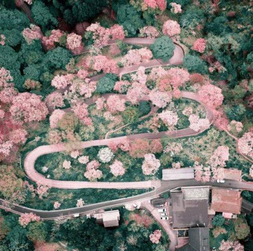 Rei-Hanada_4_Japon_Tokio_primavera_flores_cerezo_naturaleza_dron